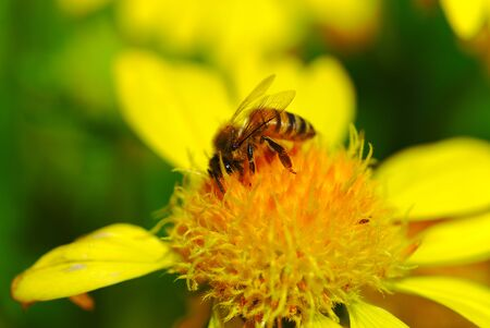 pollination activity of bees on large yellow flowers. macro