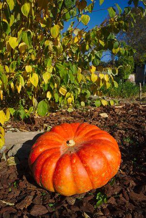 Halloween orange pumpkin in close-up Banco de Imagens