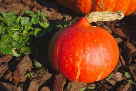 garden pumpkin freshly picked. Cucurbita