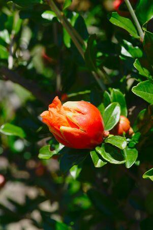 pomegranate bud on their branch, Punica Granatum