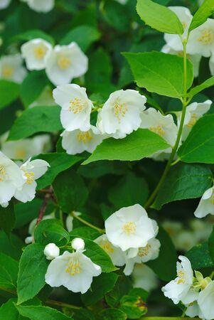 grove of white flowers of syringa, Philadelphus coronarius Stock Photo