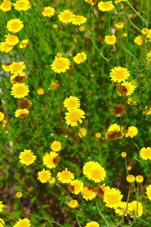 parterre, grove of yellow Anthemis flowers. Anthemis tinctoria, Anthemis of the dyers Stock Photo