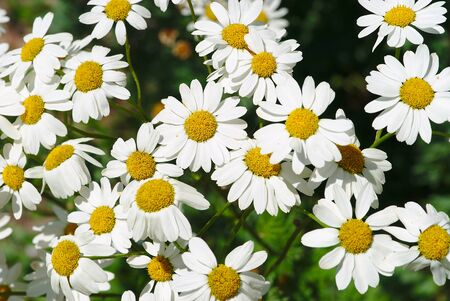 grove, parterre of Chrysanthemum corymbe white with yellow heart
