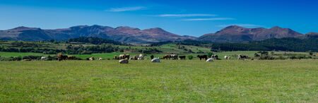 panorama of the chain of Puys du Sancy in Auvergne and cows in the foreground, France Banco de Imagens