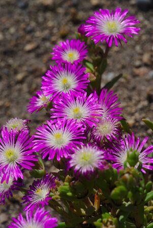 small multicolored Perennial Purslane flowers Stock Photo - 133145180