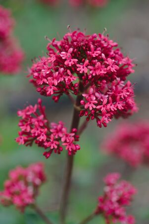 Centranthe red. red valerian, or Spanish lilac (Centranthus ruber)