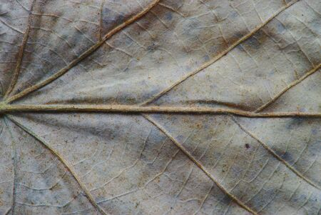 central vein of a leaf dead in macro photography