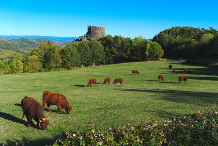 Salers cows grazing in Auvergne in front of Murol Castle