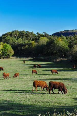 Salers cows in their pasture in Auvergne, Puy de Dome