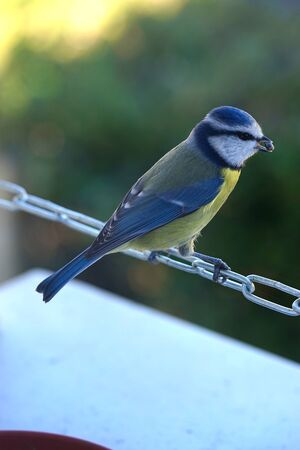 blue tit taken from life holding a seed in its beak
