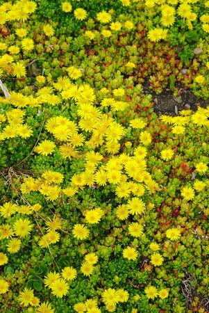 delosperma yellow flowerbed - Delosperma nubigenum