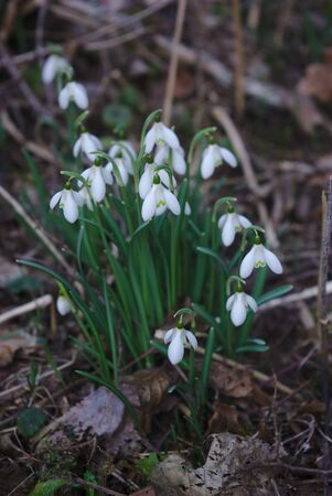snowdrops, first spring flowers in the Auvergne forest