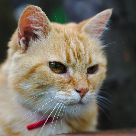 close-up on a contemplative red domestic cat