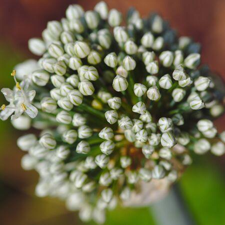 white garlic flower ball close up and blur effect