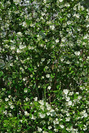 Grove of Seringat (Jasmine of poets) or Philadelphus, with white flowers