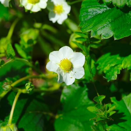 small strawberry flowers in spring