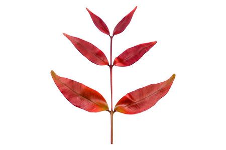 Red leaves of australian brush cherry or Eugenia Myrtafolia.