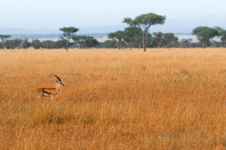 Gazelle usually stay with their herd but this one was alone. Stock Photo
