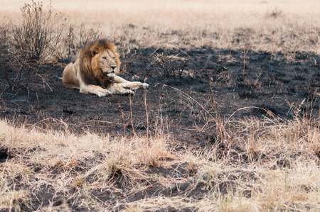 Male lion lie down in a burned field after small wildfire at Serengeti national park, Tanzania.