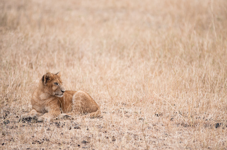 Young Lion sat alone but not far from their family. Reklamní fotografie