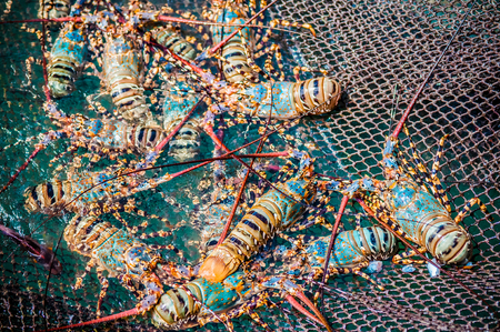 Painted spiny lobster catching in Phuket. Banco de Imagens