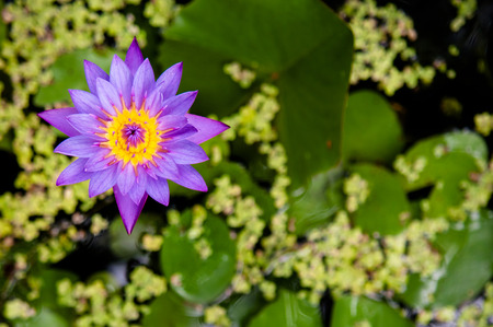 Beautiful water lily and its leaves in background