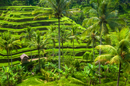 Green terrace rice fields in Ubud, Bali, Indonesia.