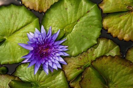 Full bloom blue Water Lily.