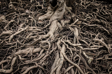 centenarian: Old and super messy tree roots Stock Photo