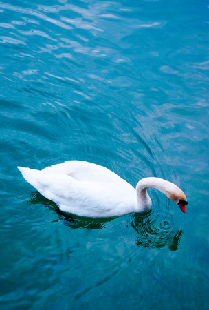 White swan on thedeep  blue lake.