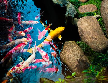 Koi Carp Fishes in Japanese garden