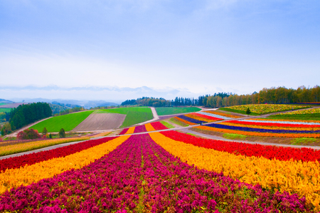 Colorful Flower field in Furano, Hokkaido, Japan Stock Photo