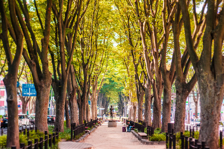 일본 느릅 나무 나무, 센다이, 조 젠지 거리의 느티 나무 스톡 콘텐츠