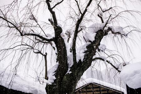 冬の角館 - 秋田 - 日本雪カバーの古い桜の木の上
