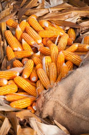 Close up vertical shot of beautiful yellow corns in sack.