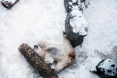白雄のホッキョクグマが喜んで木材のログと岩の間雪の上横します。 写真素材