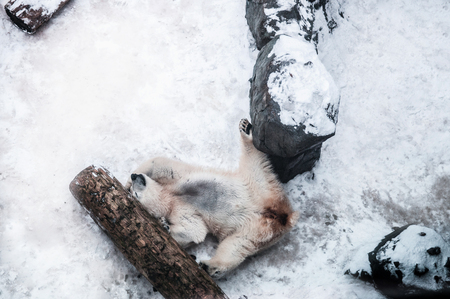 White male polar bear happily lie down on the snow between wood log and rock