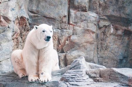 White male polar bear sitting on the grey color rock in Oga aquarium in Akita, Japan. Stock Photo