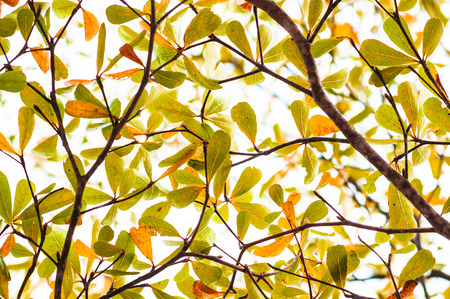 Tree branch with green and yellow leaves of Ivory coast almond tree,  terminalia ivorensis