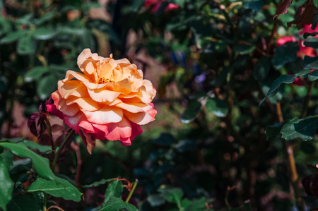 Single yellow red rose with green leaves bush background, vintage film style image 写真素材