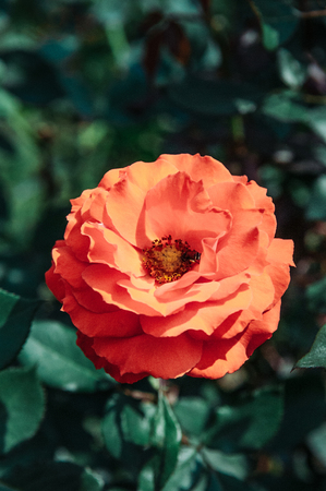 Single red orange rose with green leaves bush background, vintage film style image