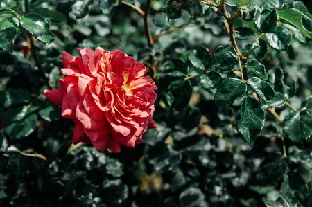 Single red rose with green leaves bush background, vintage film style image