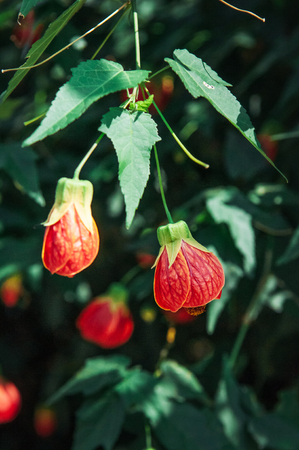 Close up shot of Flowering Maple, Indian Mallow or Abutilon Chinese Bell Flower, Chinese Lantern Mallow