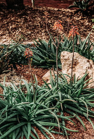 Beautiful group of Succulent cactus Aloe with flowers on rocky ground and stones