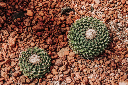 Beautiful Cactus greenhouse with rocky ground and stones. Golden Barrel Cactus