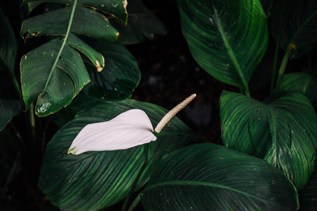 Beautiful image of Peace lily spathiphyllum with leaves in dark background