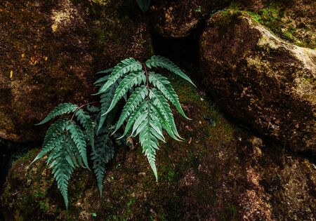 Barnsley fern, green fern leaves on dark color rocks, fern in nature or botanical garden 写真素材