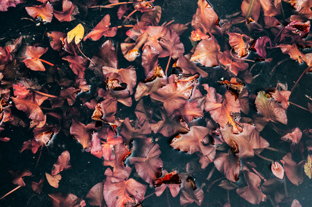 Beautifull vintage look, Red - copper lotus leaves or water lily from top angle, nature pattern and texture 写真素材