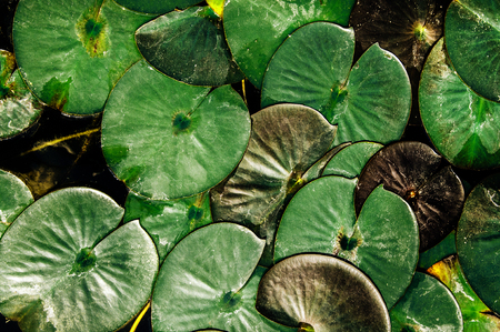 Beautifull vintage look, Dark Green lotus leaves or water lily from top angle, nature pattern and texture