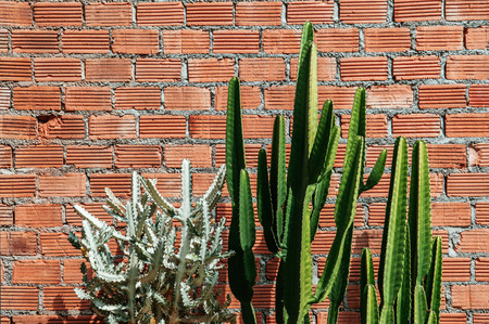 A Group of various cactus with sharp spike and old red brick wall horizontal image with copy space 写真素材